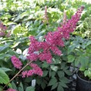 Astilbe japonica Red Sentinel