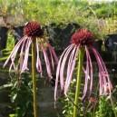 Echinacea pallida