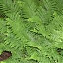 Dryopteris affinis 'Crispa'