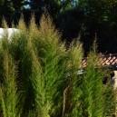 Eupatorium capillifolium 'Elegant Plum'