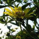 Helianthus atrorubens 'Gullick's Variety'