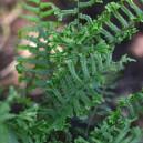 Dryopteris affinis 'Cristata'
