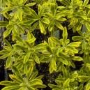 Euphorbia amygdaloides 'Ascott Rainbow' ®