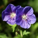 Geranium  himalayense 'Johnsons' s Blue'