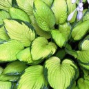 Hosta fortunei 'Gold Standard'