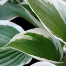 Hosta fortunei 'Patriot'