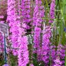 Lythrum virgatum 'Dropmore Purple'