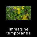 Lysimachia nummularia