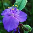 Tradescantia (A) 'Zwanenburg Blue'