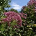 Eupatorium maculatum 'Riesenschirm'®