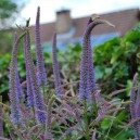 Veronicastrum virginicum 'Fascination'