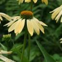 Echinacea 'Sunrise' ®
