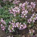 Lamium maculatum 'Chequers'