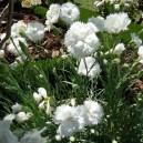 Dianthus (P) 'Haytor White'