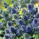 Eryngium 'Blue Hobbit'
