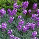 Erysimum linifolium 'Bowles' Mauve'