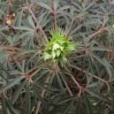 Helleborus foetidus 'Wester Flisk'