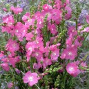 Sidalcea 'Rosy Gem'
