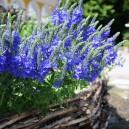 Veronica austriaca 'Royal Blue'